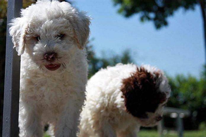Lagotto Romagnolo: adottare un cucciolo consapevolmente