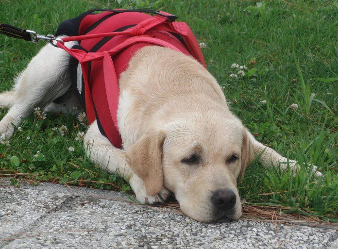 Pettorina per cani guida: l'accessorio pensato per il massimo controllo del cane