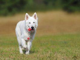 La scelta di un cane di razza: il Pastore Svizzero Bianco