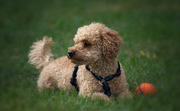 """La moda delle razze di cani """"toy"""" arriva anche in Italia"""