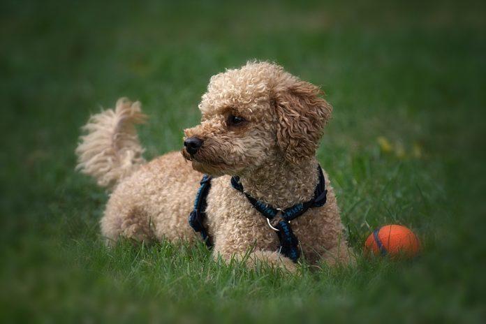 La moda delle razze di cani